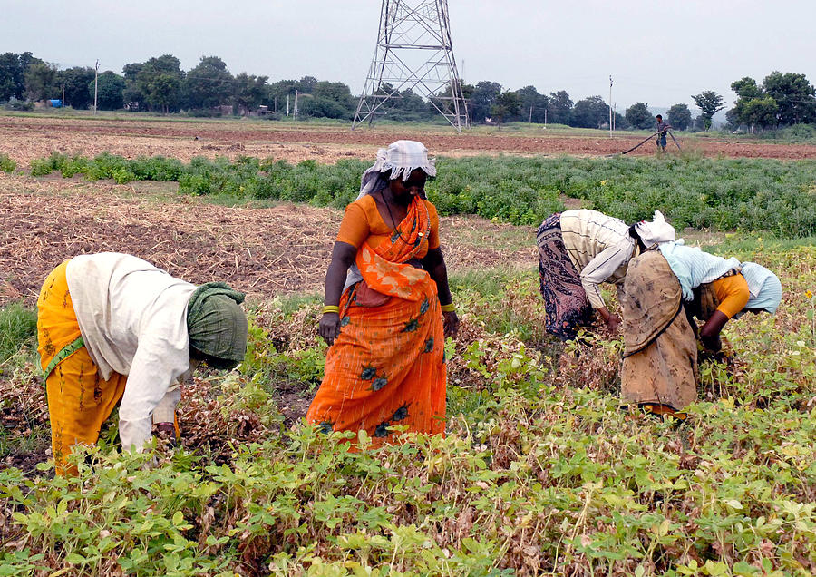 Groundnut Picking By Women Photograph