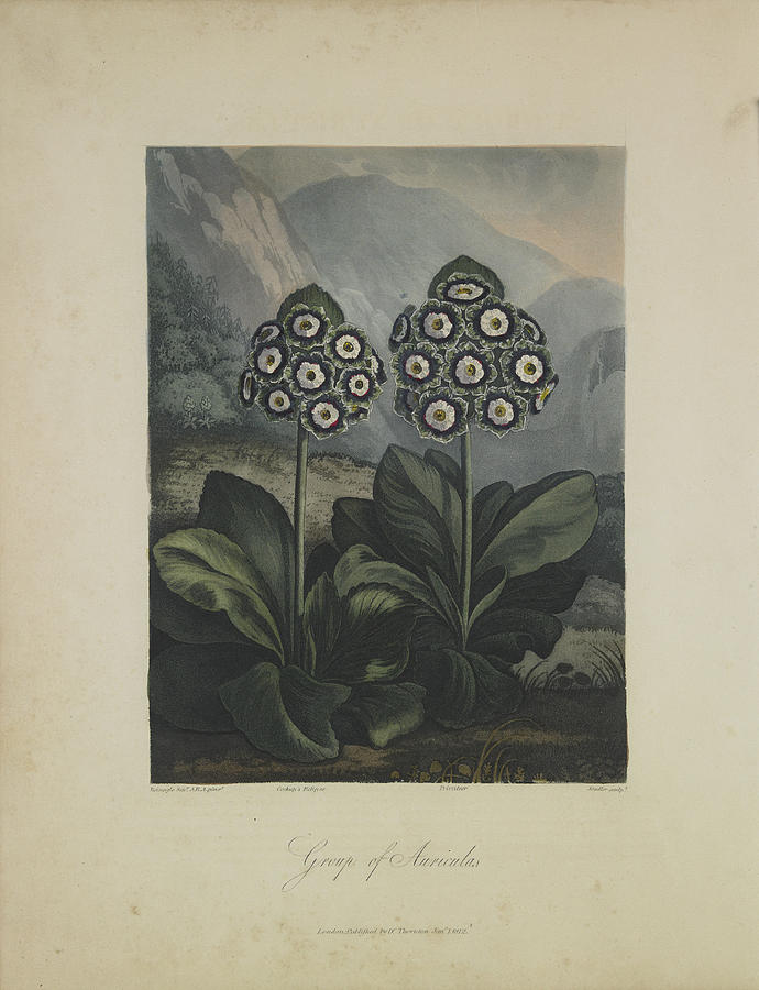 Group Of Auricula Drawing