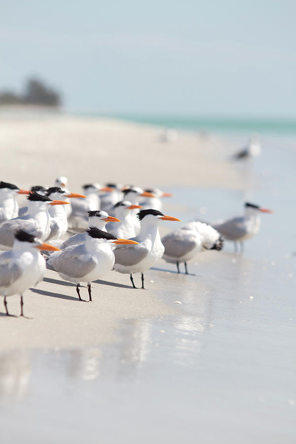 Group Of Terns On Sandy Beach Photograph  - Group Of Terns On Sandy Beach Fine Art Print