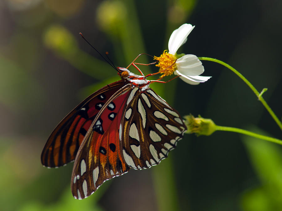 Gulf Fritillary Photograph  - Gulf Fritillary Fine Art Print
