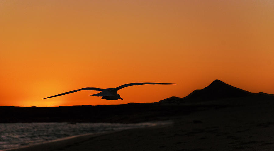 Gull At Sunset Photograph