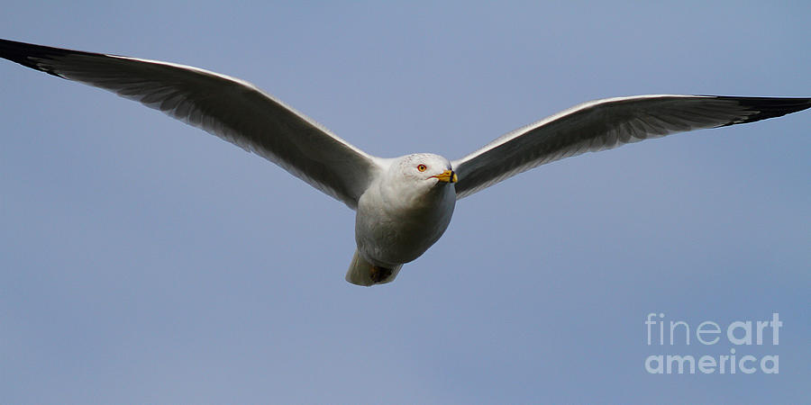 Gull In Flight . 7d12082 Photograph