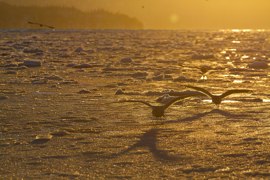 Gulls Fishing In Ice Photograph