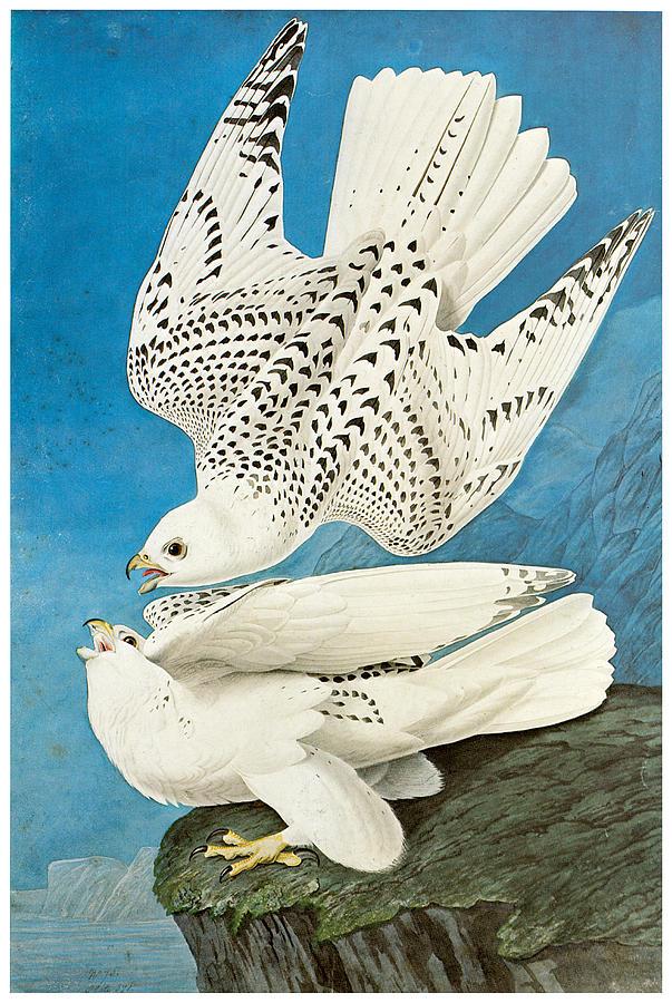 John James Audubon Painting - Gyrfalcon by John James Audubon