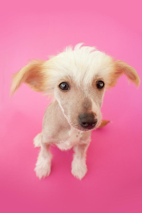 Hairless Dog On Pink Background Photograph