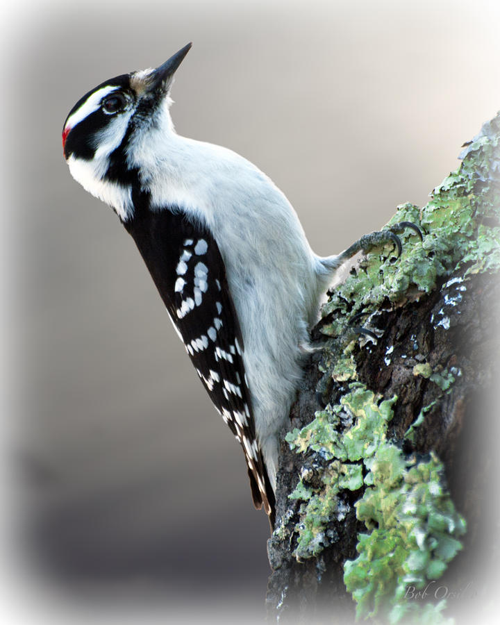 Hairy Woodpecker Photograph  - Hairy Woodpecker Fine Art Print