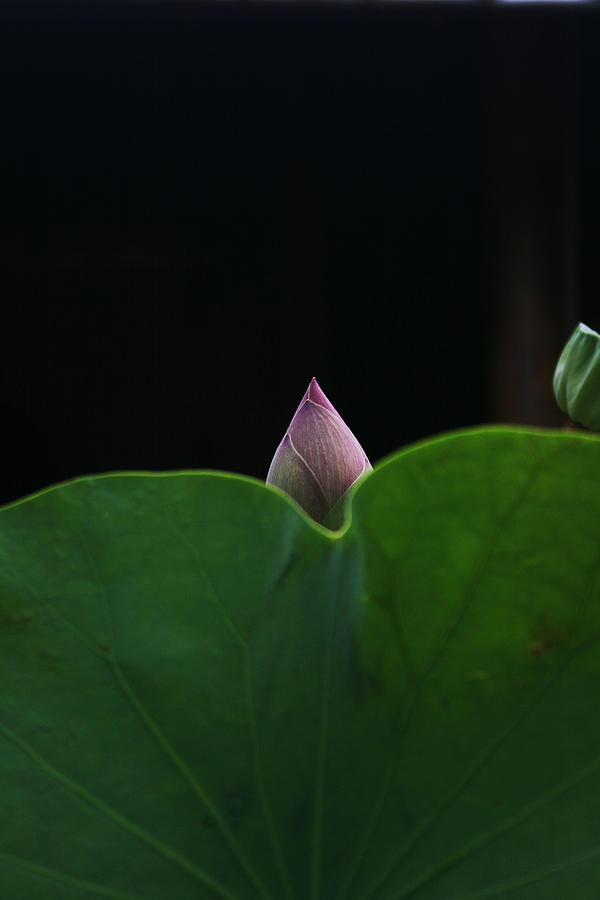 Hallo New Born Lotus Photograph  - Hallo New Born Lotus Fine Art Print