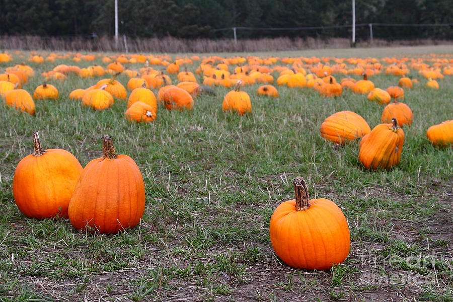 Halloween Pumpkin Patch 7d8383 Photograph  - Halloween Pumpkin Patch 7d8383 Fine Art Print