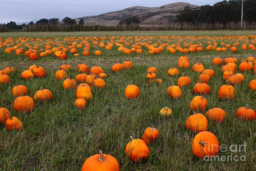 Halloween Pumpkin Patch 7d8388 Photograph