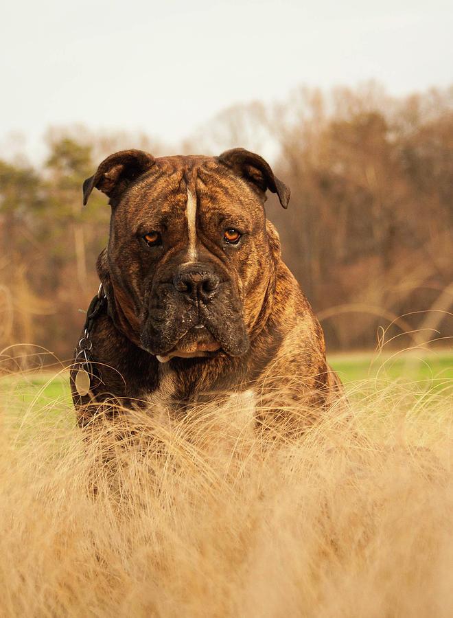 Olde English Bulldogge Pyrography - Hammer Tallgrass by Tommy  Urbans