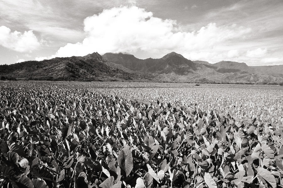 Hanalei Taro Fields Photograph