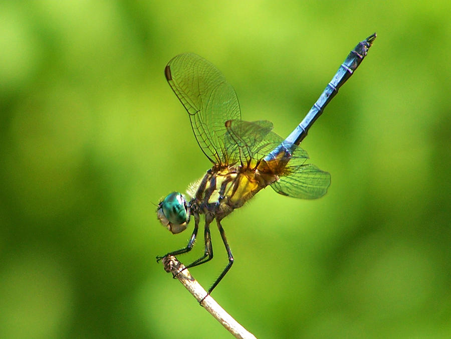 Handstand Dragonfly Photograph