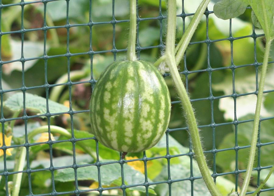 Hanging Watermelon Plant Photograph