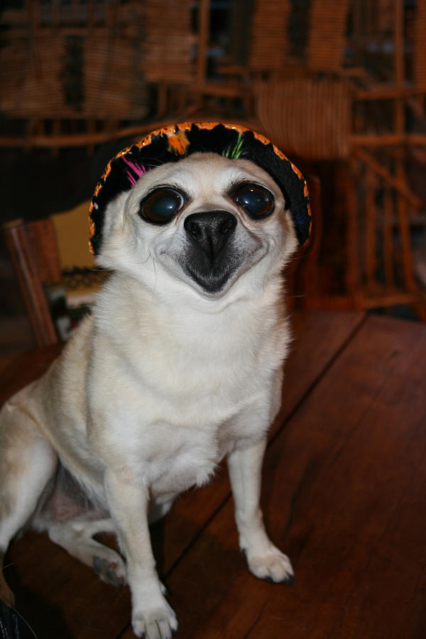 Happy Chihuahua  Photograph