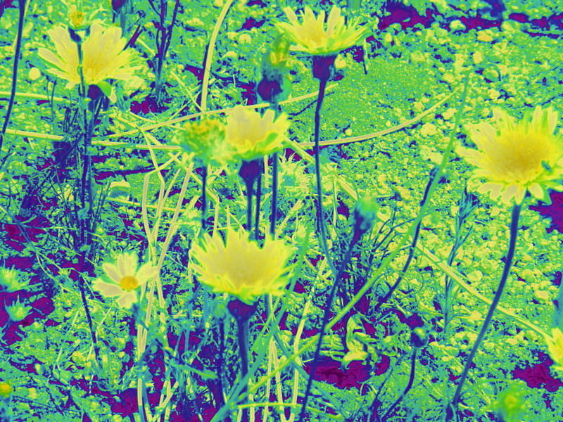 Wildflowers Photograph - Happy Desert Daisies by Claire Plowman