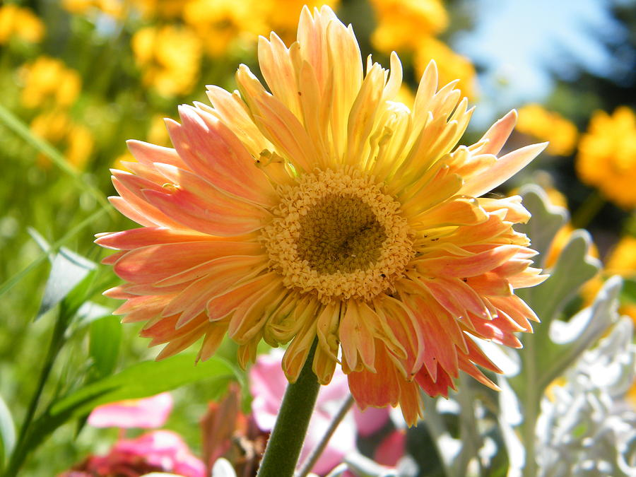Happy Gerbera Daisy In The Sun Photograph