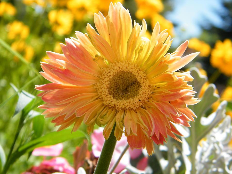 Daisy Photograph - Happy Gerbera Daisy In The Sun by Mary Sedivy