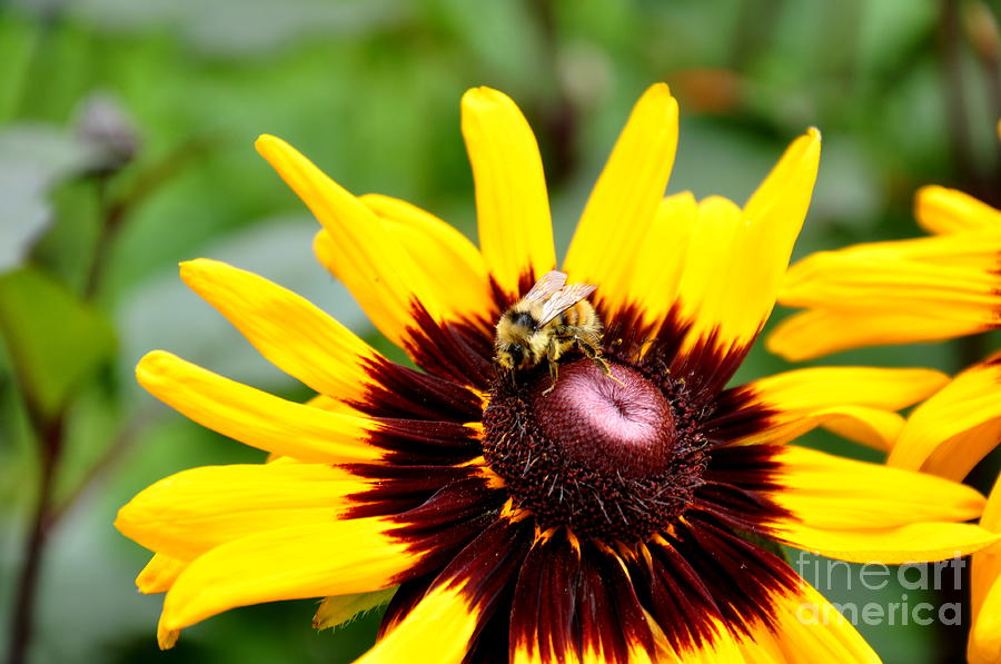 Happy Rudbeckia Photograph  - Happy Rudbeckia Fine Art Print