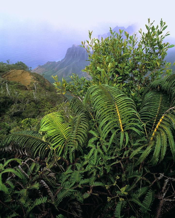 Hapuu Ferns Photograph
