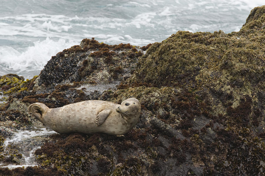 Harbor Seal  Point Lobos State Reserve Photograph