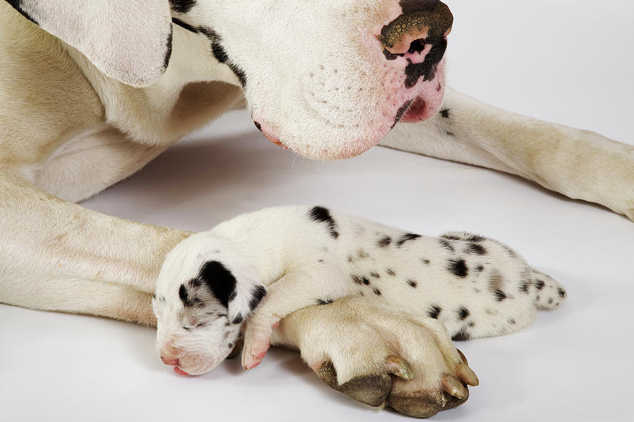 Harlequin Great Dane Puppy Sleeping On Mother's Paw, Studio Shot ...