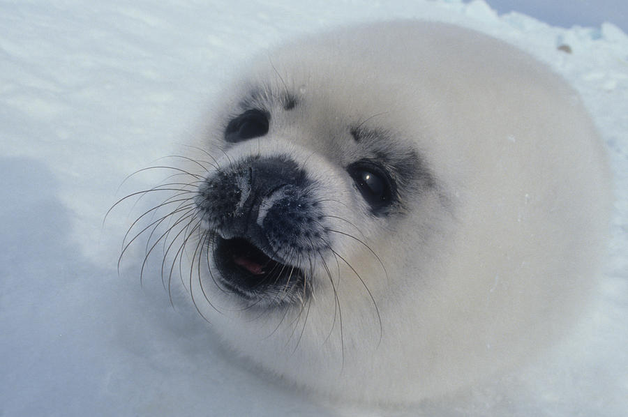 Baby harp seal smiling gif