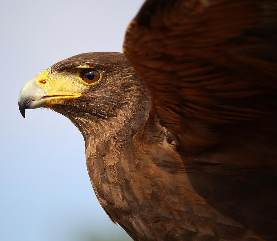 Harris Hawk Photograph