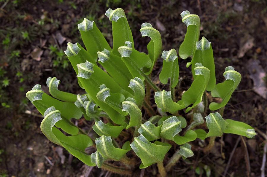 Harts Tongue Fern Unfurling Photograph  - Harts Tongue Fern Unfurling Fine Art Print