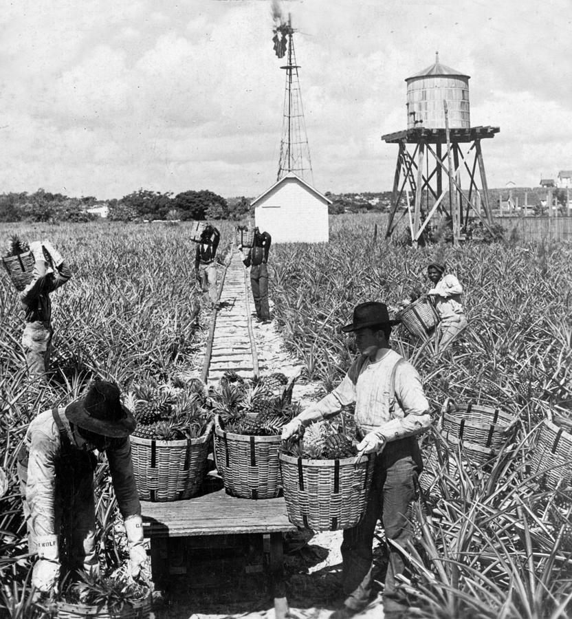 Harvesting Indian River Pineapples - C 1906 - Florida Photograph by International  Images
