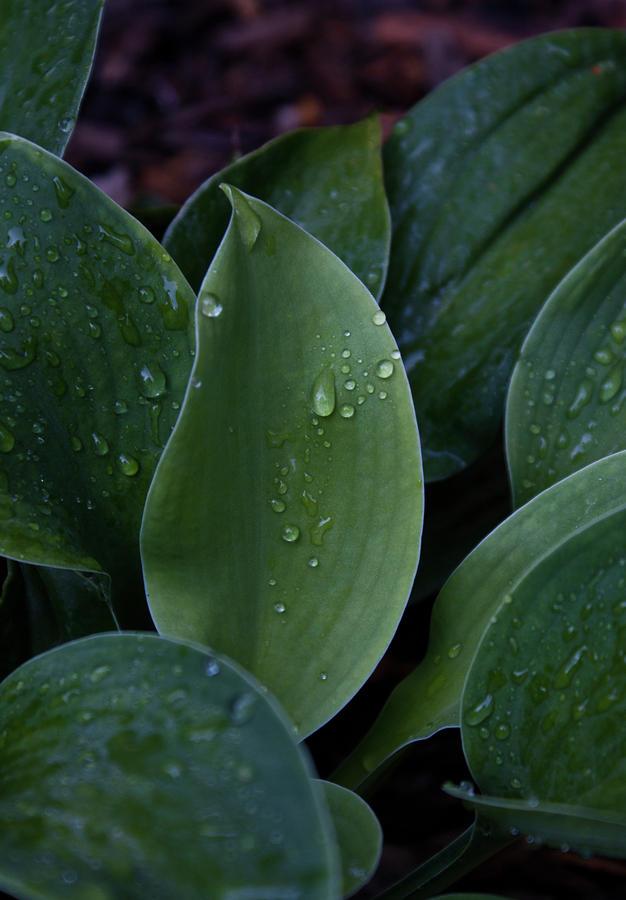 Hausta Dew Drops Photograph