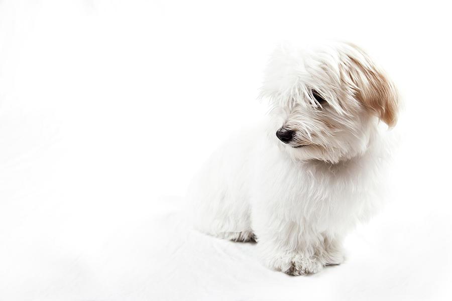 Horizontal Photograph - Havanese Puppy by Daniel Pupius