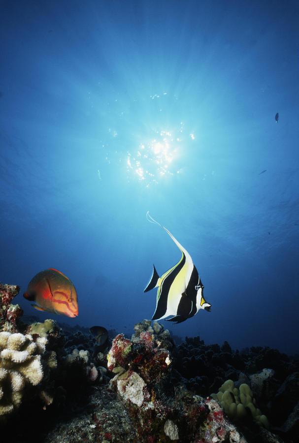 Hawaii tropical fish by ed robinson printscapes for Tropic fish hawaii