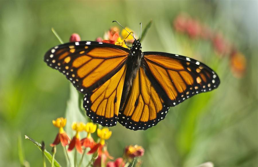Hawaiian Monarch 3 Photograph
