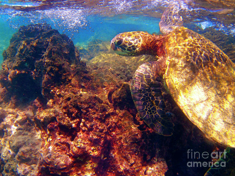 Hawaiian Sea Turtle - On The Reef Photograph