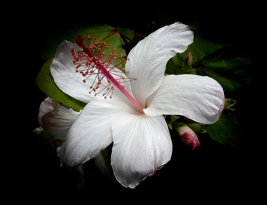 Hawaiian White Hibiscus Photograph  - Hawaiian White Hibiscus Fine Art Print