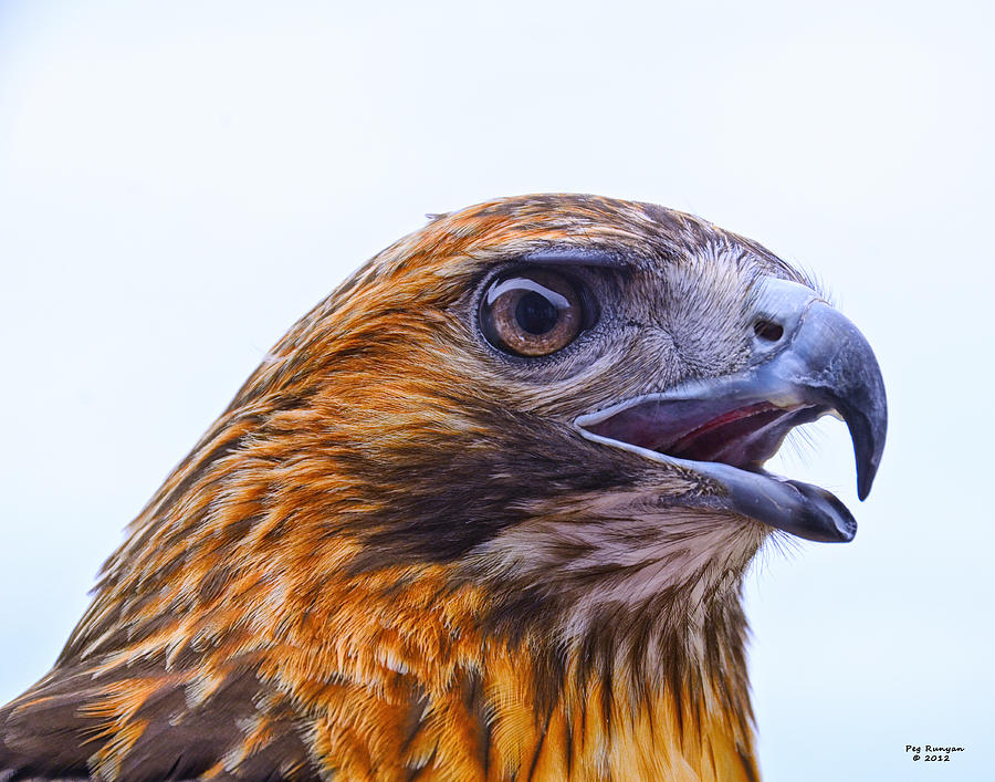 Hawk Head Photograph  - Hawk Head Fine Art Print