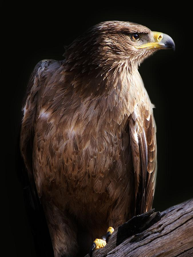 Hawk Photograph  - Hawk Fine Art Print