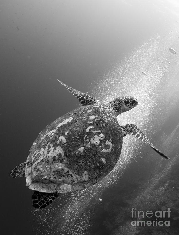 Hawksbill Turtle Ascending Photograph