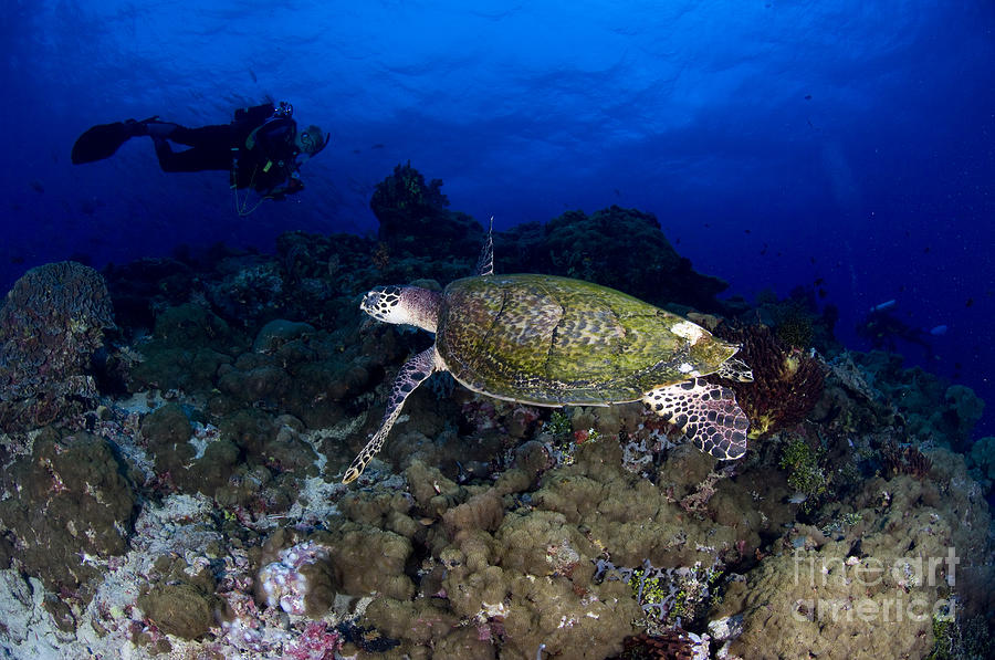 Hawksbill Turtle Swimming With Diver Photograph