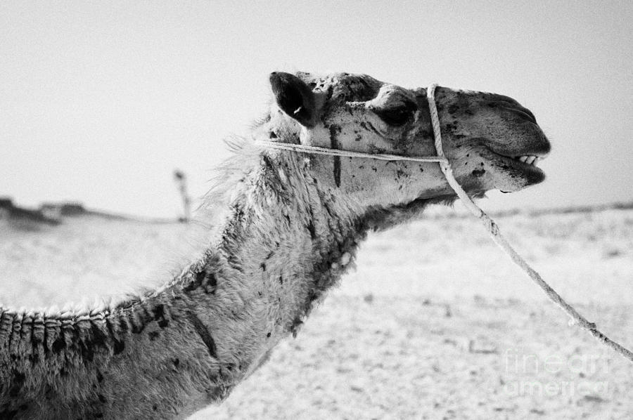 head of a dromedary camel being led through the sahara desert at Douz Tunisia Photograph  - head of a dromedary camel being led through the sahara desert at Douz Tunisia Fine Art Print