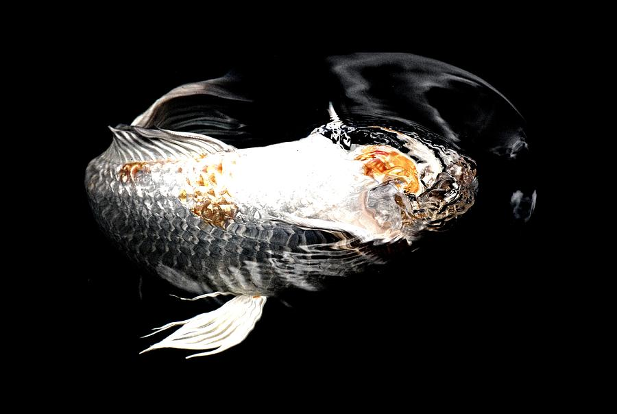 Headless Koi Photograph  - Headless Koi Fine Art Print