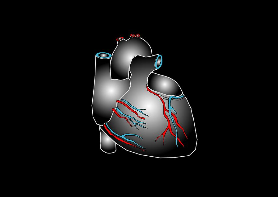 Heart Anatomy, Artwork Photograph  - Heart Anatomy, Artwork Fine Art Print