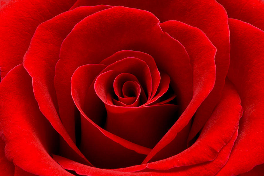 Heart Rose Photograph  - Heart Rose Fine Art Print
