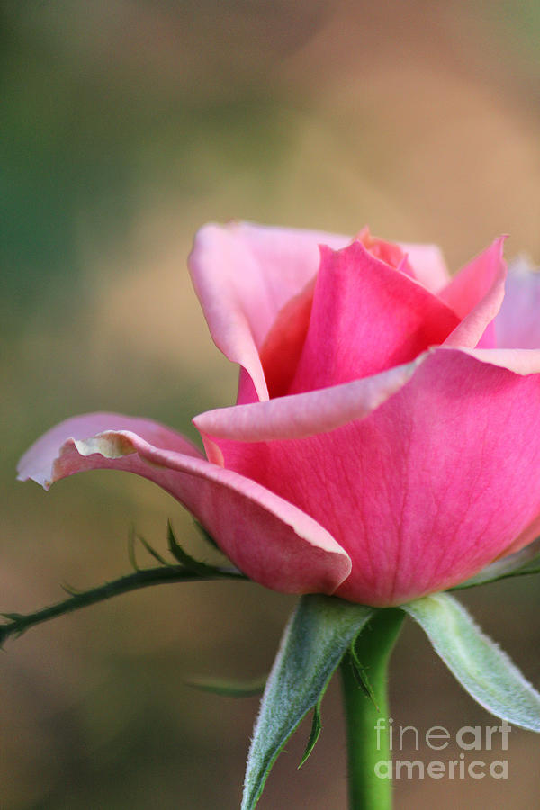 Heavenly Rose Photograph  - Heavenly Rose Fine Art Print
