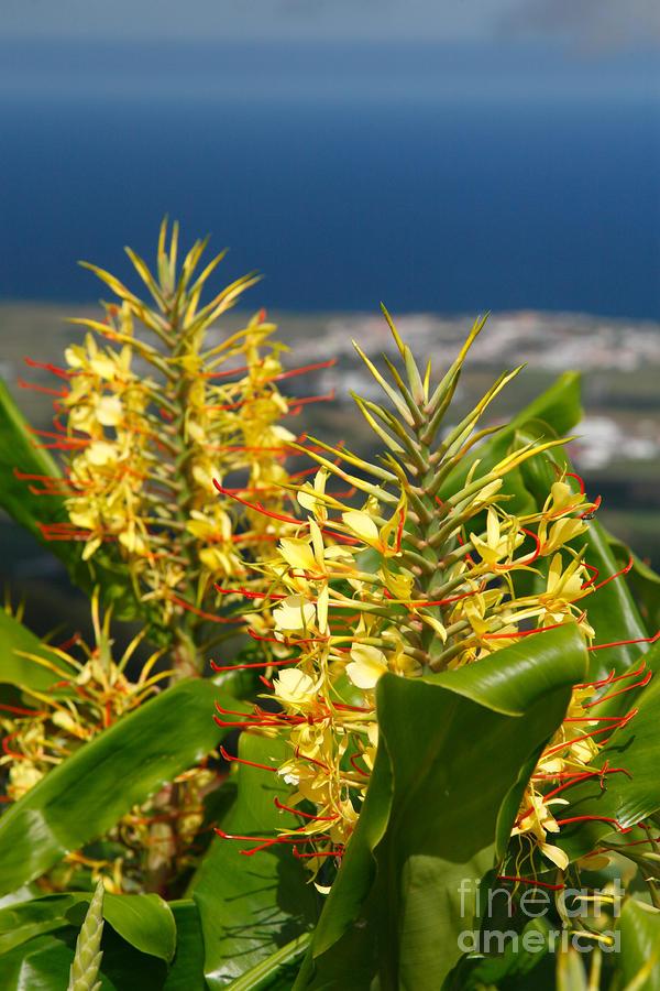 Hedychium Gardnerianum Photograph
