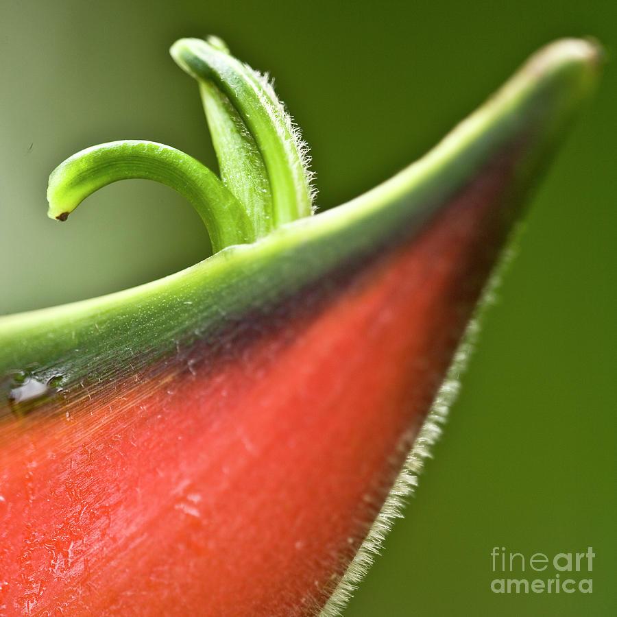 Heliconia Orthotricha Photograph