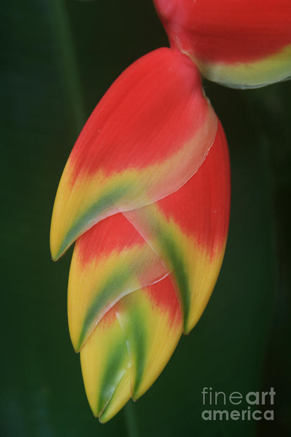 Aloha Photograph - Heliconia Rostrata - Hanging Heliconia by Sharon Mau