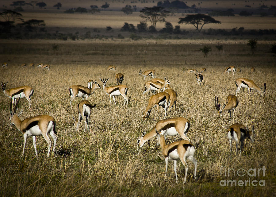 Herd Of Antelope Photograph  - Herd Of Antelope Fine Art Print