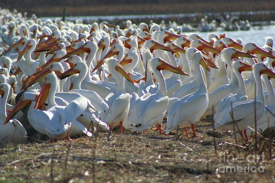 Herd Of Pelicans Photograph  - Herd Of Pelicans Fine Art Print