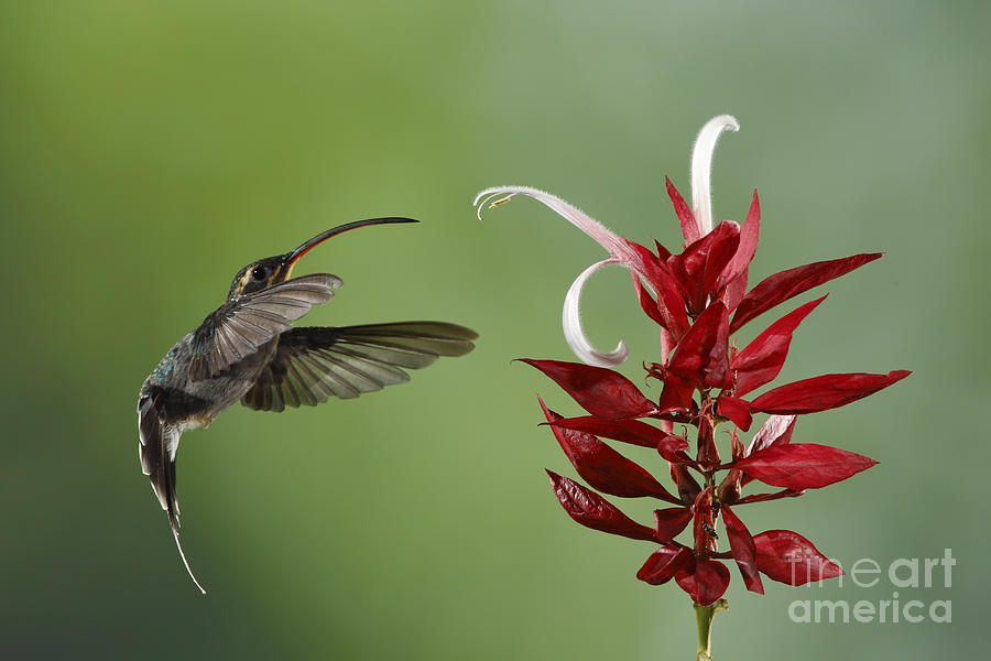Hermit Hummingbird And Red Flower Photograph  - Hermit Hummingbird And Red Flower Fine Art Print